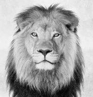 Lion Dull.JPG