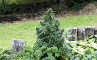 PgBgR78RTC6FbMzfboCy_cannabis-plant-in-garden.jpg